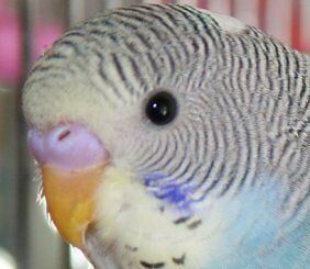 FANCY AUSTRALIAN BABY BUDGIE (PARAKEET) AVAILABLE AT CENTRAL PET