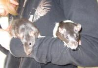 """Young Male Small & Furry - Rat: """"Harry & Ronald"""""""