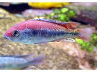 Haplochromis Flameback