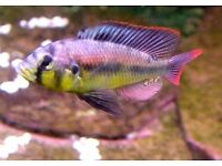 tropical yellow belly albert male cichlid fish (lake victoria) african cichlid/malawi