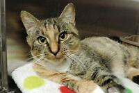 "Adult Female Cat - Domestic Short Hair: ""Bertie"""