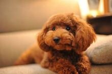 Wanting poodle puppy Sunbury Hume Area Preview