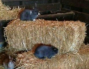 Timothy/Orchard Grass Hay Bales for your Critters
