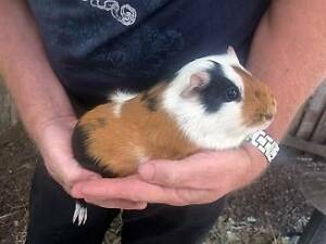 Guinea Pigs x 3 & 2 Storey Hutch Mundaring Mundaring Area Preview