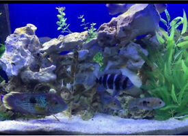 Fish tank full set up with fishes breeding Green terrors
