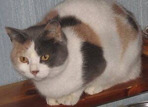 "Adult Female Cat - Calico: ""Heidi"""