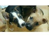 German Shepherd cross puppies 2 left