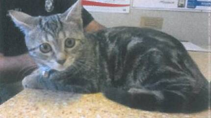 Cat 'Tilly' - Hunter Animal Rescue Raymond Terrace Port Stephens Area Preview