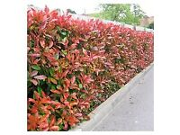 Red robin hedging potted