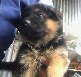 GERMAN SHEPHERD PUPIES EXCELLENT BLOOD LINES ( GERM ) Bargo Wollondilly Area Preview
