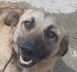 "Young Male Dog - Labrador Retriever-Shepherd: ""DODGE"""