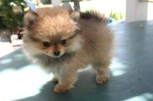 WANTED: Pomeranian Puppy Burpengary Caboolture Area Preview