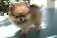 Looking for a Pomeranian Puppy! Please contact