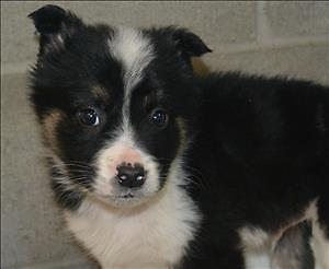 "Baby Male Dog - Border Collie: ""Bob"""