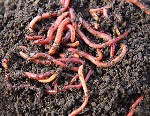Compost Worms- Red Wrigglers or European Nightcrawlers