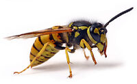Wasp nest / Hornet removal