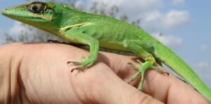 Cuban knight anole with enclosure