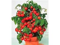 Heirloom Cherry tomatoe plant indoor and out