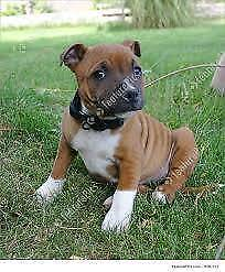 WANTED: Amstaff or Staffordshire Bull Terrier Pup