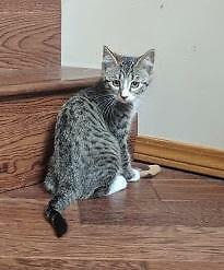 "Baby Male Cat - Domestic Short Hair-Tabby - Grey: ""Gunter"""