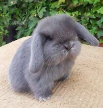 Wanted : baby mini lop Ettalong Beach Gosford Area Preview