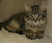 "Baby Male Cat - Domestic Long Hair: ""Juice"""