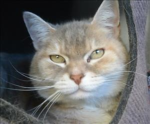 "Senior Female Cat - Domestic Short Hair: ""Zoe"""
