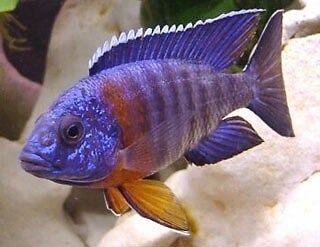 Fish Cichlids Malawi 1-2 Inch -- £3