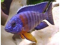 Fish african malawi cichlids Mixed Peacocks 2cm- 1inch
