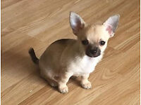 3rd gen pedigree Tiny Chihuahua ready for a new home now