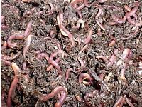 Selling California red worms wholesale