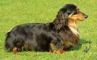 looking for a dachshund