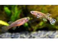 3x killifish for sale...
