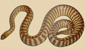 Woma Python with set up