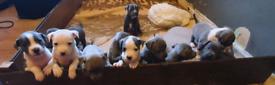 Staffy pupies