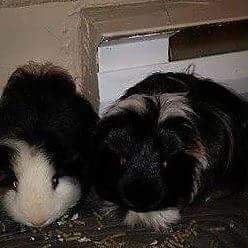 """Adult Male Small & Furry - Guinea Pig: """"Larry&piggy small"""""""