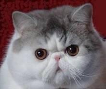 CAT WANTED: Exotic, Persian, Ragdoll or Birman adult cat Ku-ring-gai Area Preview