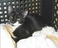 "Baby Male Cat - Domestic Short Hair: ""Squeak"""