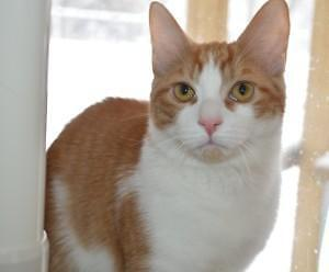 "Young Male Cat - Domestic Short Hair: ""George"""