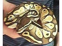 Male royal python for sale