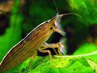 Wood shrimp/ bamboo shrimp- free to good home