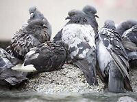 Professional Pest Control for Pigeons