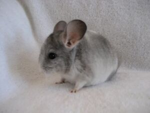 baby chinchilla Kawartha Lakes Peterborough Area image 1