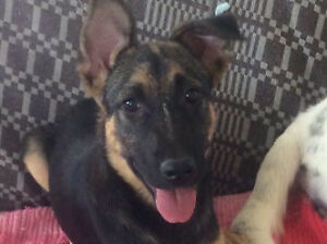 "Baby Female Dog - German Shepherd Dog: ""LUNA"""