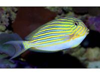 MARINE FISH / NICE SIZE AND COLOUR CLOWN TANG , FEEDING WELL