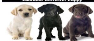 Wanted: Wanted Labrador puppy - amazing farm home