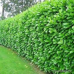 laurel hedging 2ft high