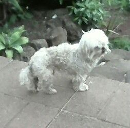 Lost dog. Tullamarine Hume Area Preview