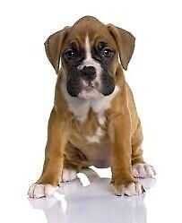 Looking for boxer puppy