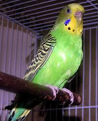 One male yellow canary/one green female budgie